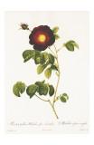 Redoute Rosa Gallica Maheka Art by Pierre-Joseph Redouté