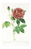 Redoute Rosa Gallica Officinalis Art by Pierre-Joseph Redouté