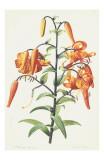 Redoute Lilium Prints by Pierre-Joseph Redouté