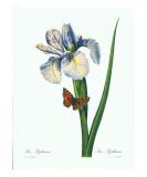Redoute Iris Hiphium Posters by Pierre-Joseph Redouté