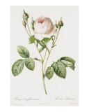 Redoute Rosa Centifolia Carnea Prints by Pierre-Joseph Redouté