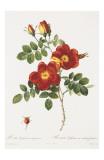 Redoute Rosa Eglanteria var. punicea Prints by Pierre-Joseph Redouté