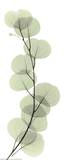 Albert Koetsier - X-Ray Eucalyptus Branch I Obrazy