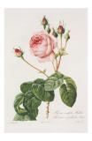Redoute Rosa Centifolia Bullata Prints by Pierre-Joseph Redouté