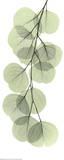 Røntgenbillede af eukalyptusgren II Poster af Albert Koetsier