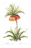 Redoute Fritillaria Imperialis Posters by Pierre-Joseph Redouté