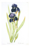 Redoute Iris Germanica Prints by Pierre-Joseph Redouté