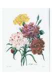 Redoute OEillet Variete Prints by Pierre-Joseph Redouté