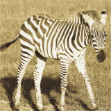 Young Zebra Art by Susann Parker