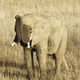 Young Elephant Plakater af Susann Parker