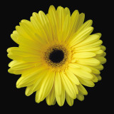 Gerbera Daisy Yellow Plakat af Jim Christensen