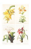 Redoute Group of 4 Lillies Poster by Pierre-Joseph Redouté