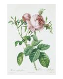 Redeoute Rosa Centifolia Foliacea Prints by Pierre-Joseph Redouté