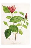 Redoute Magnolia Discolor Poster by Pierre-Joseph Redouté