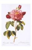 Redoute Rosa Gallica Aurelianensis Posters by Pierre-Joseph Redouté