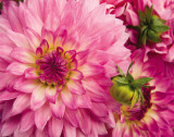 Pink Dahlia Posters by Maureen Love