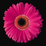 Gerbera Daisy Pink Poster by Jim Christensen