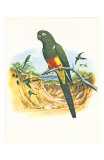 Patagonian Conure no. 429 Stampe