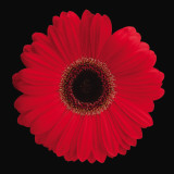 Gerbera Daisy Red Poster von Jim Christensen