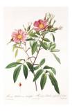 Redoute Rosa Hudsoniana Salicifolia Kunstdrucke von Pierre-Joseph Redouté