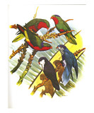 Blue-Crowned Lory no. 73 Prints