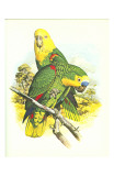 Blue Fronted Amazon no. 545 Poster