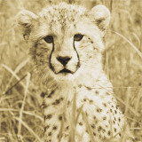Young Cheetah Posters by Susann Parker