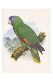 Red Necked Amazon no. 557 Poster