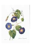 Redoute Ipomaea Quamoclit Prints by Pierre-Joseph Redouté