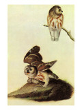 Saw Whet Owl Prints by John James Audubon