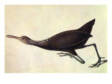 Limpkin Poster von John James Audubon