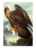 Golden Eagle Poster by John James Audubon