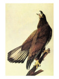 Bald Eagle Print by John James Audubon