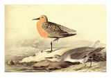 Leach's Petril Prints by John James Audubon