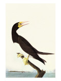 Brown Booby Prints by John James Audubon