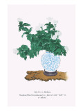 Shiragiku (White Chrysanthemum) In a Blue And White Tsubo Posters by Josiah Conder