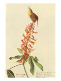 Carolina Wren Posters par John James Audubon