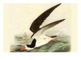 Black Skimmer Poster par John James Audubon