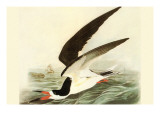 Black Skimmer Print by John James Audubon