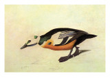 Stellers Eider Prints by John James Audubon