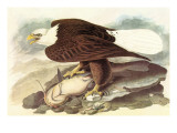 Bald Eagle 2 Prints by John James Audubon