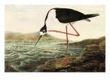 Black-Necked Sytilt Posters by John James Audubon