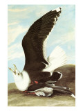 Great Black Backed Gull Poster by John James Audubon