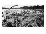 Iliamna, Alaska - View of a Reindeer Herd Art by  Lantern Press