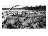 Iliamna, Alaska - View of a Reindeer Herd Art by  Lantern Press