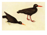 Black Oystercatcher Poster by John James Audubon