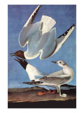Bonapartes Gull Prints by John James Audubon