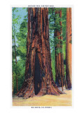 Big Basin, California - Mother Tree Posters by  Lantern Press