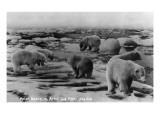 Alaska - Polar Bears on Arctic Ice Float Affiche