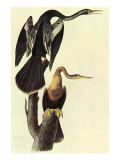 Anhinga Art by John James Audubon